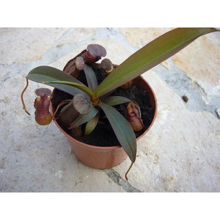 Nepenthes sanguinea red